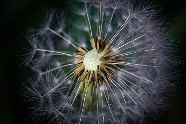 Strzał zbliżenie kwiat mniszka lekarskiego w ogrodzie