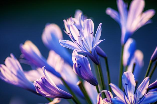 Strzał zbliżenie kwiatów agapanthus na niewyraźne tło