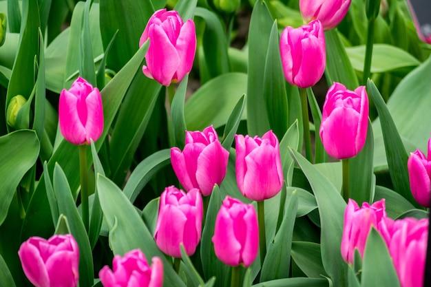 Strzał zbliżenie kwiatów tulipanów na polu w słoneczny dzień - idealne dla tła