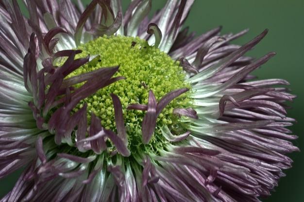 Strzał zbliżenie kwiatu badania stokrotka