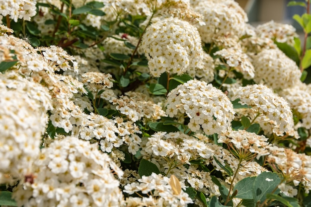 Strzał zbliżenie kwitnących białych kwiatów hortensji