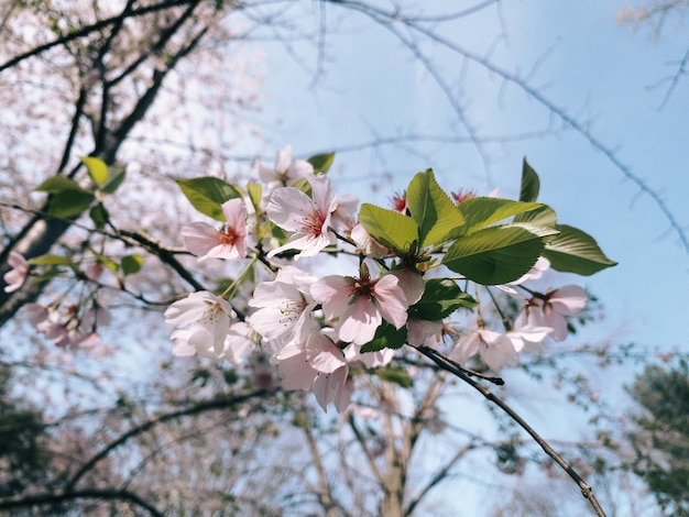 Strzał zbliżenie kwitnących kwiatów wiśni w zieleni