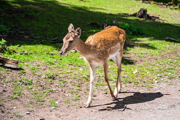 Strzał zbliżenie ładny młody jelenia w środowisku naturalnym