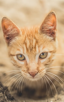 Strzał zbliżenie ładny puszysty pomarańczowy kot domowy