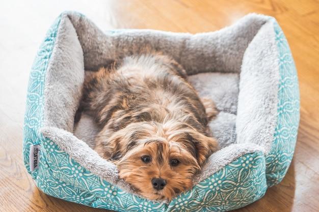 Strzał zbliżenie ładny śliczny, smutny wyglądający typ psa domowego shih-poo w pomieszczeniu