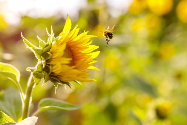 Strzał zbliżenie lądowania pszczół na pięknym słoneczniku