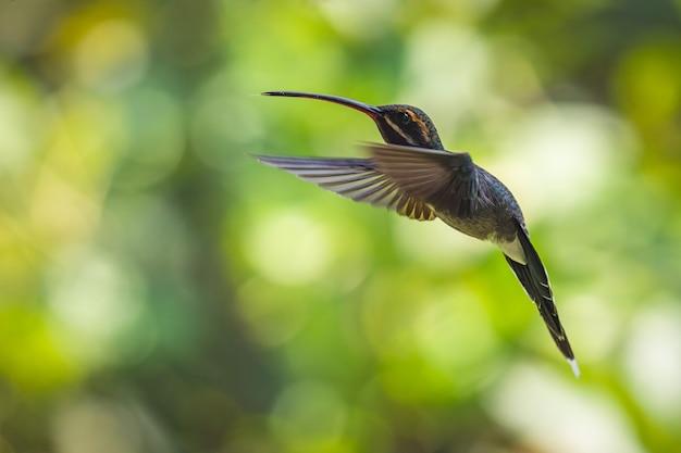 Strzał zbliżenie latającego kolibra z niewyraźną zielenią