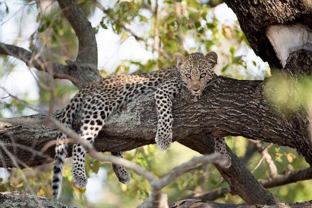 Strzał zbliżenie leniwy lampart afrykański spoczywający na gałęzi drzewa