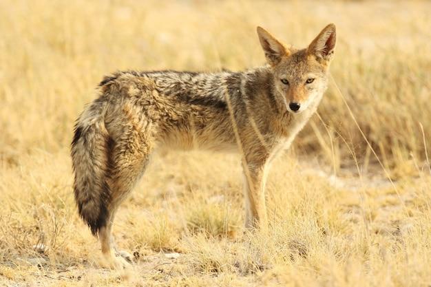 Strzał zbliżenie lis peleryna stojący na trawiastych równinach sawanny w namibii