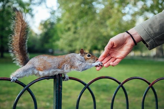 Strzał zbliżenie ludzką ręką dotykając wiewiórki w parku