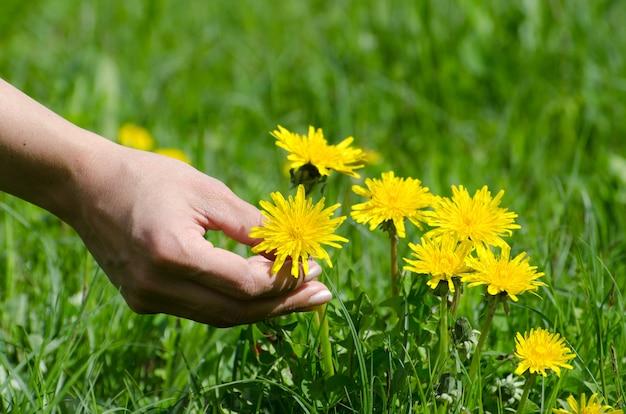 Strzał zbliżenie ludzkiej dłoni kadrowanie żółtego mniszka lekarskiego z zielonej trawie
