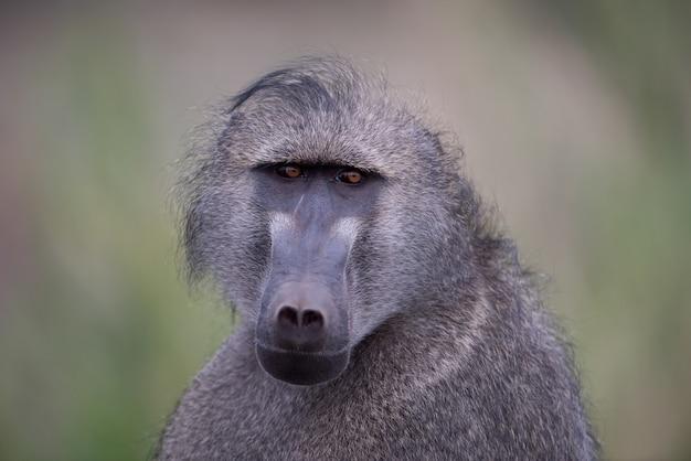 Strzał zbliżenie małpa pawiana