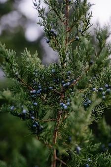 Strzał zbliżenie małych niebieskich owoców rosnących na kawałku gałęzi