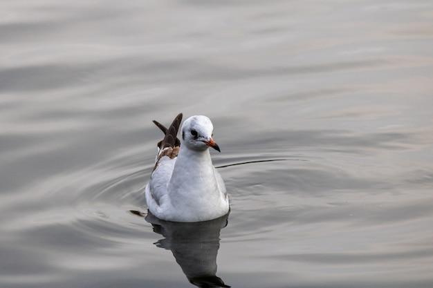 Strzał zbliżenie mewa z wdziękiem pływanie w jeziorze