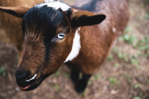 Strzał zbliżenie młodego kozy w kalifornii ranczo