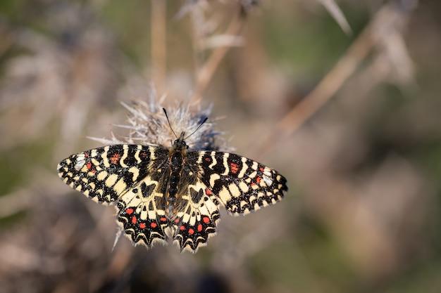 Strzał zbliżenie motyla zerynthia rumina na roślinie z cierniami