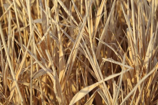 Strzał zbliżenie mróz pokryte uschniętą trawą ozdobną w świetle słonecznym