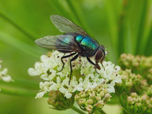 Strzał zbliżenie mucha domowa na kwiatek