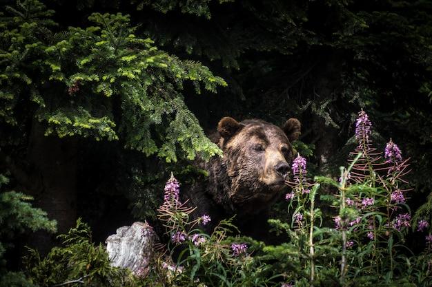 Strzał zbliżenie niedźwiedzia grizzly stojącego wśród drzew na grouse mountain w vancouver, kanada