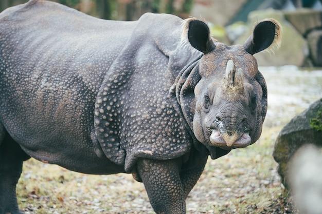 Strzał zbliżenie nosorożca patrząc w kamerę, pokazując jego skórę zbroi