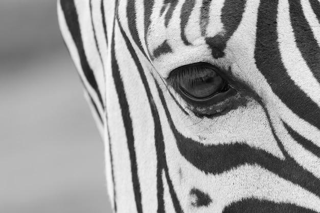 Strzał zbliżenie oka pięknej zebry