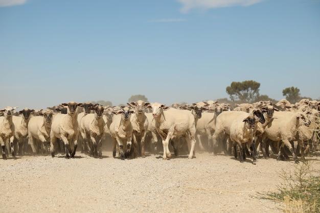 Strzał zbliżenie owiec spaceru na drodze w pobliżu pola
