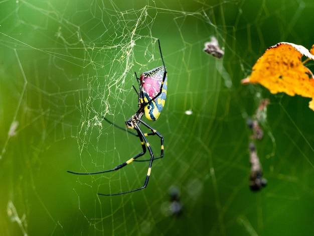 Strzał zbliżenie pająka joro z różowym tyłem w japońskim parku leśnym