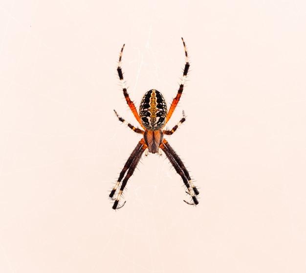 Strzał zbliżenie pająka krzyżowego na białym tle