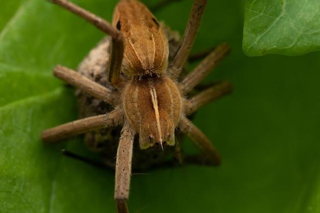 Strzał zbliżenie pająka pimoidae na liściu z workiem jajecznym