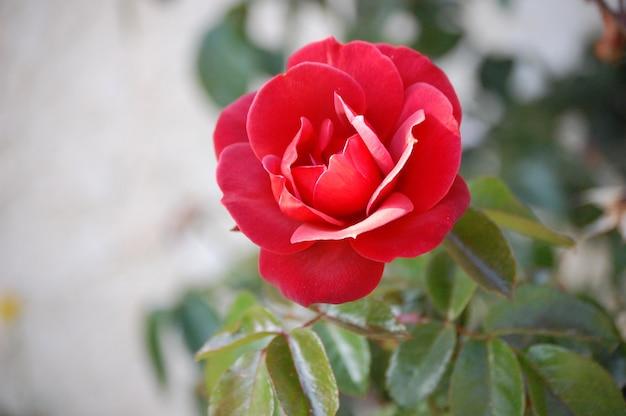 Strzał zbliżenie piękną czerwoną różę kwitnącą ogrodową