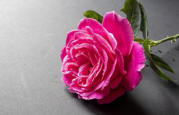 Strzał zbliżenie piękna różowa róża z kroplami wody na szarym tle