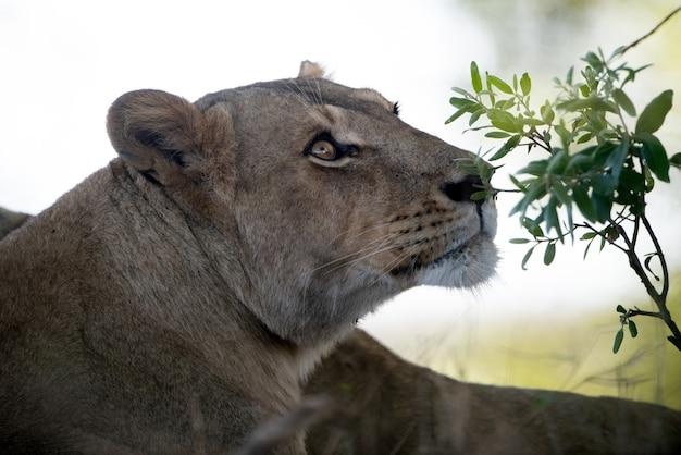Strzał zbliżenie piękna samica lwa