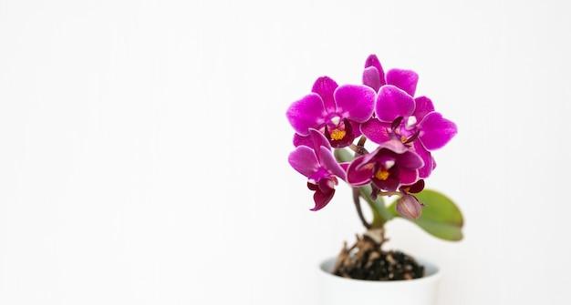 Strzał zbliżenie piękne fioletowe kwiaty orchidei na białym tle na białym tle