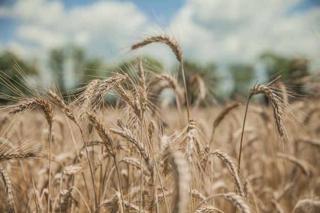 Strzał zbliżenie piękne pole pszenicy