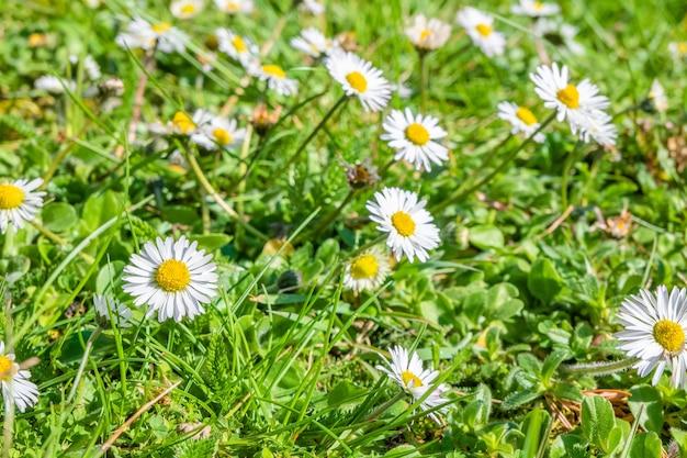Strzał zbliżenie piękne stokrotki w ogrodzie w słońcu
