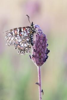 Strzał zbliżenie pięknego motyla zerynthia rumina na niewyraźnej zieleni