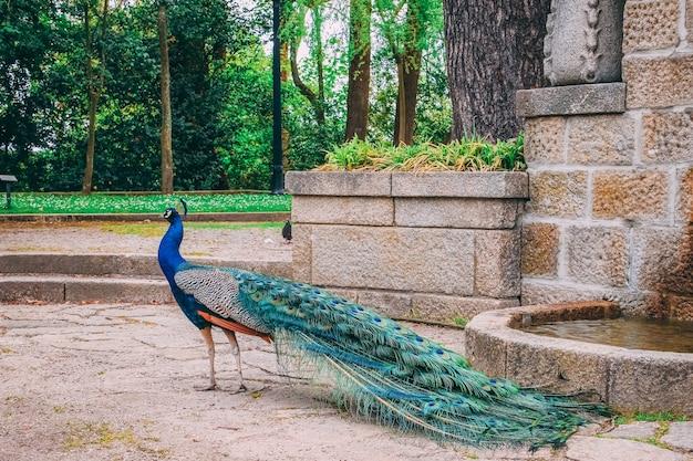 Strzał zbliżenie pięknego pawia w parku w ciągu dnia
