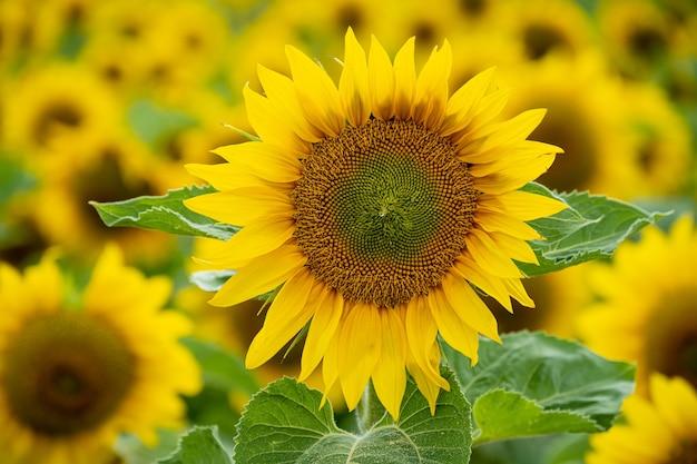 Strzał zbliżenie pięknego słonecznika w polu słoneczników