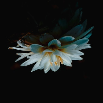 Strzał zbliżenie piękny biały kwiat lotosu