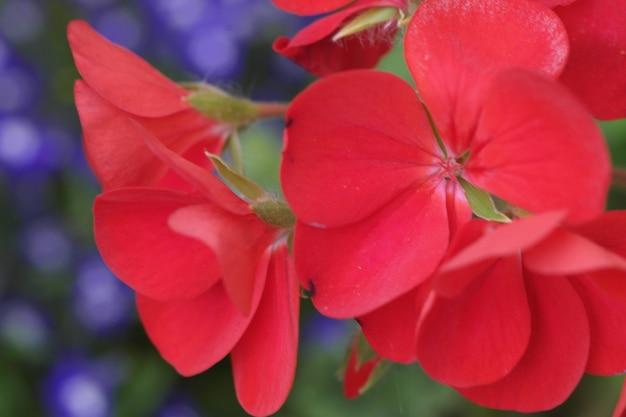 Strzał zbliżenie piękny czerwony kwiat z rozmytym tłem