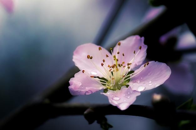 Strzał zbliżenie piękny fioletowy kwiat wiśni chińskiej