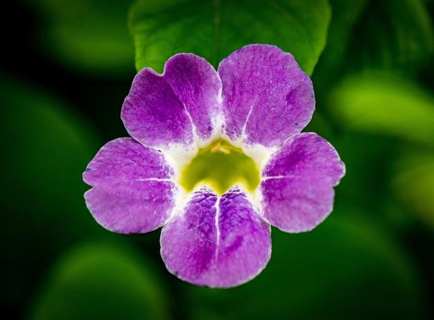 Strzał zbliżenie piękny fioletowy kwiat