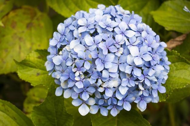 Strzał zbliżenie piękny kwiat hortensji serrata z zielonymi liśćmi