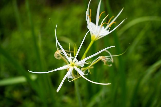 Strzał zbliżenie piękny kwiat hymenocallis speciosa