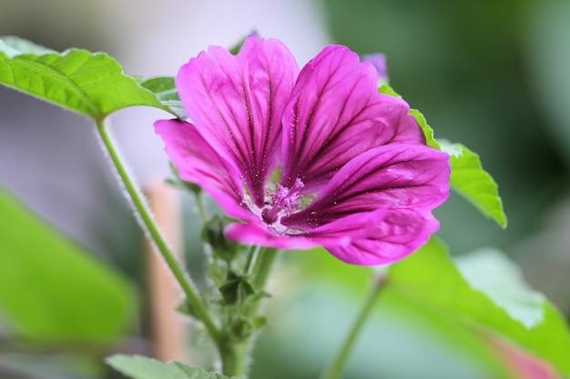 Strzał zbliżenie piękny kwiat malva