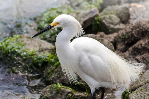 Strzał zbliżenie piękny ptak czapla śnieżna siedzący na skałach w pobliżu rzeki