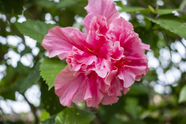 Strzał zbliżenie piękny różowy hibiskusa w pełnym rozkwicie