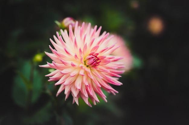 Strzał zbliżenie piękny różowy kwiat dahlia
