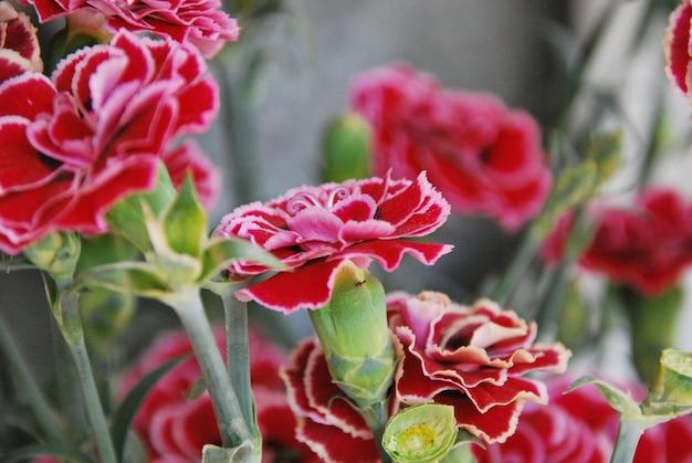 Strzał zbliżenie piękny różowy kwiat goździka na zewnątrz w ciągu dnia