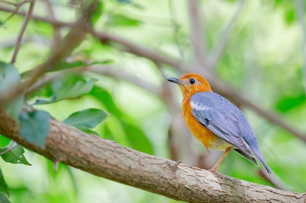 Strzał zbliżenie piękny rudzik siedzący na gałęzi drzewa otoczony zielonymi liśćmi